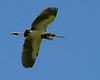 Tri-Colored Heron Flyover