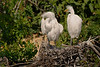 Young Great White Egrets, Smith Oaks Rookery