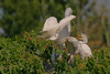 Great White Egret and young, Smith Oaks Rookery