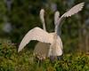 Great White Egrets, Smith Oaks Rookery