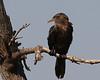 Neotropic Cormorant, Smith Oaks Rookery