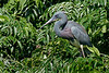 Tri-colored Heron, Smith Oaks Rookery