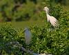 Snowy Egrets, Smith Oaks Rookery