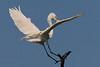 Great White Egret in flight, Smith Oaks Rookery