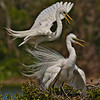 Great Egret nest building at the Smith Oaks Rookery.