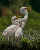 Adult Great Egret with 2 fledglings.