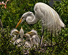 Nesting Great Egret with four chicks.