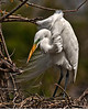 Great Egret engaged in nest building.