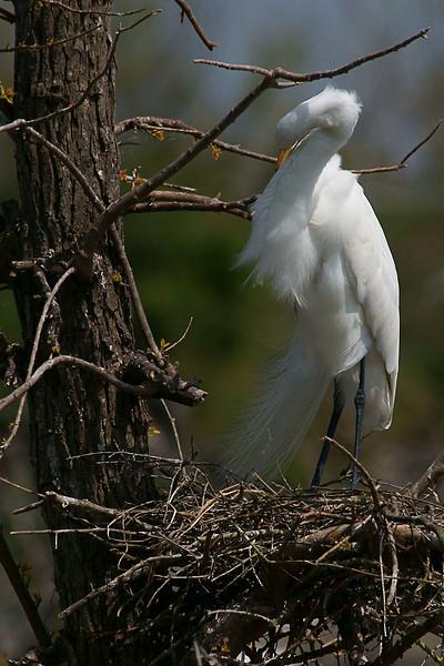 Nesting Great Egret,