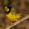Hooded Warbler, male.