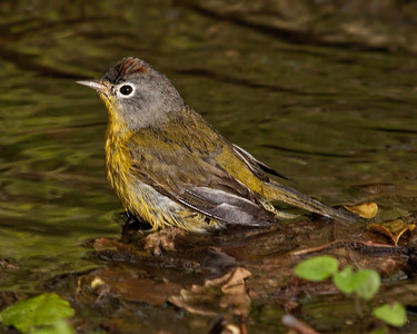 Reprocessed 2010 Spring Migrants - 0613