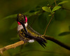 Ruby-throated Hummingbird - This was shot on the 041510 before sunrise and when there was just a first hint of light to the east.  The woods around the blind at BS Woods, High Island, TX were dark.  I used a flash remote mounted from the camera at a 45 degree angle to the lens's axis and set with a wide angle dispersion equivalent to an 18 mm lens.