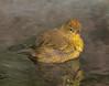 Male Orange-crowned Warbler.
