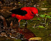 Bathing male Scarlet Tanager