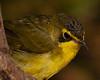 Female Kentucky Warbler