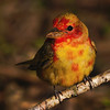 Immature Summer Tanager changing to adult plummage.