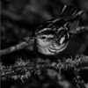 Ansel Adams treatment of the Black and White Warbler