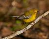 Blue-wing Warbler