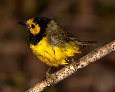 Spring Migration - High Island on 042010