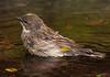 Yellow-rumped Warbler shot on 041410.