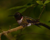 Male Ruby-throated Hummingbird taken from the blind in Boy Scout Woods, High Island, TX just before dawn.