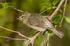 Orange-crowned Warbler shot on 041310 in photoblind at Boy Scout Woods, HI.