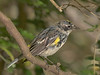 Yellow-rumped Warbler.  Originally the color caste was neutral.  I warmed it up.  Shot on 041310 and first PP'd in Photoshop CS5 on 0612.