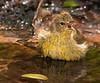 Orange-crowned Warbler taking a bath in drip pond on 041410 at Boy Scout Woods, HI.