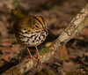 Ovenbird shot on 042010 from blind in Boy Scout Woods, High Island, TX.  Shot with Sony A900 body(35mm sensor, 24.2mp, DSLR), and Tamron SP 200-500mm/5.0-6.3 Di zoom lens.  Shot RAW.