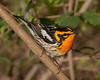 Blackburnian Warbler, male.