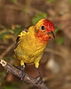 Immature Male Western Tanager.