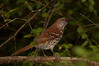 Brown Thrasher.  This one of the largest birds that comes to the drip.  It is warily checking out the drip area from a distance back before coming in.