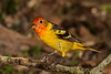 Western Tanager, immature.