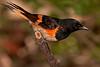 American Redstart, male.