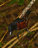 Orchard Oriole, Male.