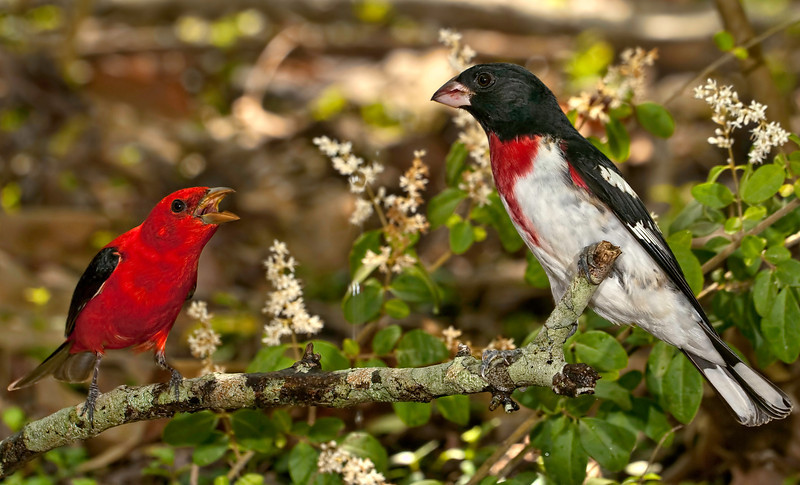 Male Scarlet Tanager(left) and male Rose-breasted Grosbeak(right)