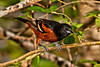 Male Orchard Oriole.