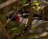 Male Rose-breasted Grosbeak.