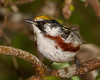 Chestnut-sided male shot on 042211.  This is a 4% crop of the full-frame.  Shot with Sony A900 24mp full-frame camera and a Sony SAL70400G lens, 70-400mm/4.0-5.6 with eff. FL of 400mm