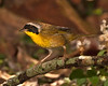 Common Yellowthroat.  8% crop of the full frame.