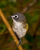 Blue-headed Vireo.  pp020513