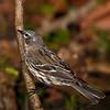 Yellow-rump Warbler.  pp020513