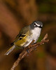 Male Blue-headed Vireo.  pp020513