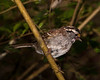 White-throated Sparrow.  pp020513