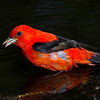 Scarlet Tanager, male.