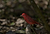 Summer Tanager male - exercise in Chiaroscuro, light and shadow.