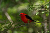 Male Scarlet Tanager - Convert only.  Right out of the camera.