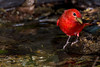 Summer Tanager, male.