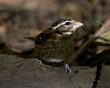 Female Rose-breasted Grosbeak.