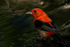 Male Scarlet Tanager at the drip pool.